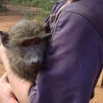 Monkey rehabilitation volunteering in South Africa