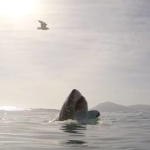 great white shark surfaces with seagull in the back drop of a sunny sky