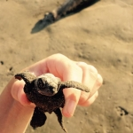 Turtle conservation volunteering