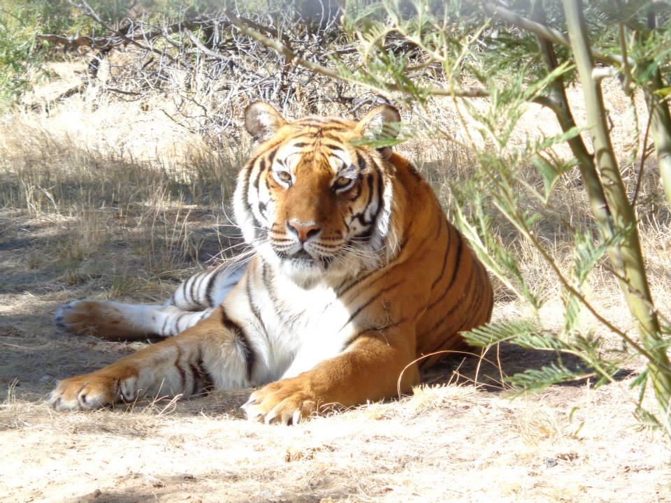 Tigers at Lionsrock