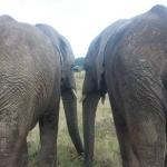 Elephant volunteering in South Africa