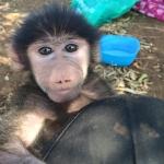 Primate volunteering