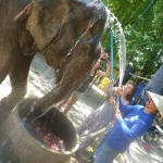 Volunteers help to bathe the rescued elephants