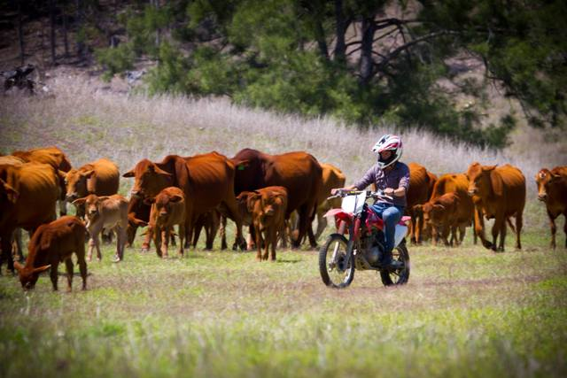 Cattle mustering with motorbikes
