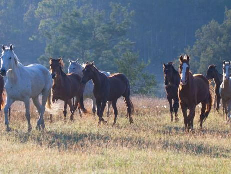 A group of horse cantering in the Australian bush