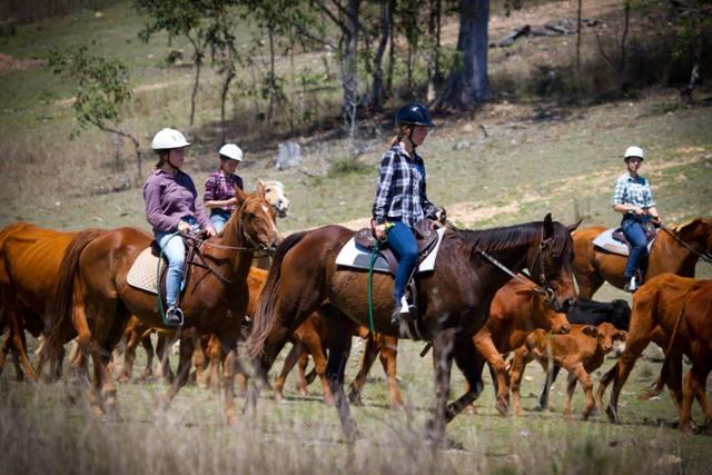 Cattle mustering on horseback