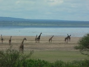 Giraffes moving gracefully over the African plains