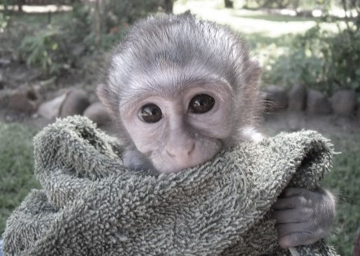 Monkey at a rehabilitation centre in South Africa
