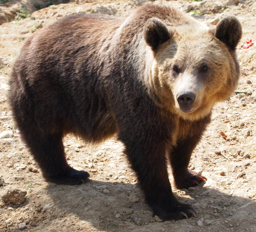 close up with a bear in Romanian bear sanctuary