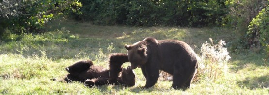 Rescued bears playing in the Romanian bear sanctuary