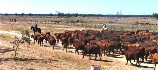 Oyster workers in the Outback herding cattle