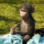 Baby monkey in rehabilitation in South Africa