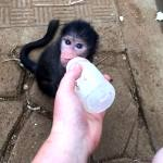 A volunteer helps to bottle feed a baby monkey in South Africa