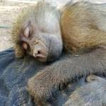 A baboon takes a nap on a volunteer in South Africa
