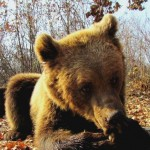 Help bears like Sammy to enjoy life in the wild