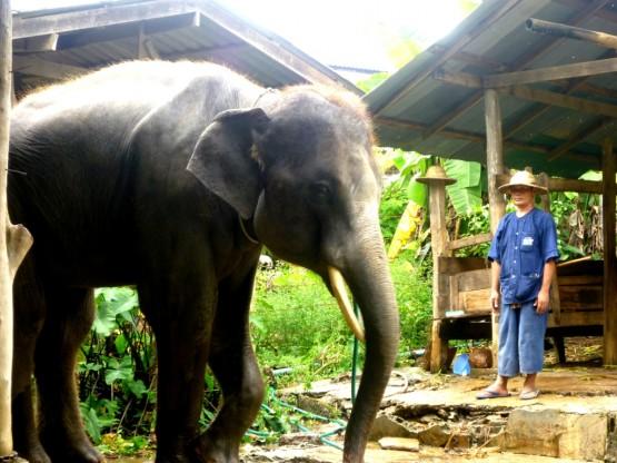 Elephant volunteering Thailand