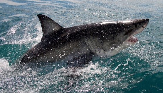 Get to know the great white shark as a volunteer