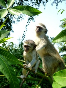 Baby monkeys in South Africa