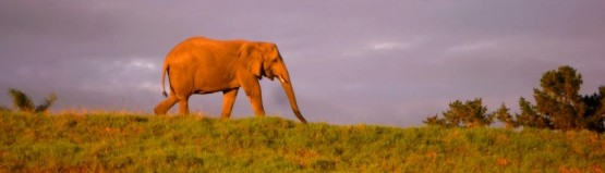 sunrise walk with elephants