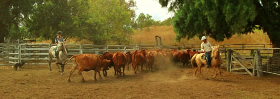 Cattle mustering on a farm in Australia