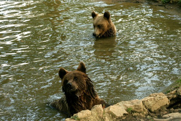 Volunteering with bears in Romania