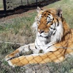 Tiger Caruso has been rescued to LIONSROCK big cat sanctuary