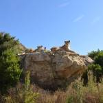 Lions at LIONSROCK overlooking the sanctuary