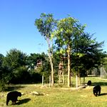 Sun bears in their new home at the wildlife sanctuary in Thailand