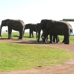Elephants grazing in South Africa