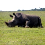 Rhino at the Big 5 game reserve in South Africa