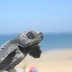 Volunteering with turtles in Thailand