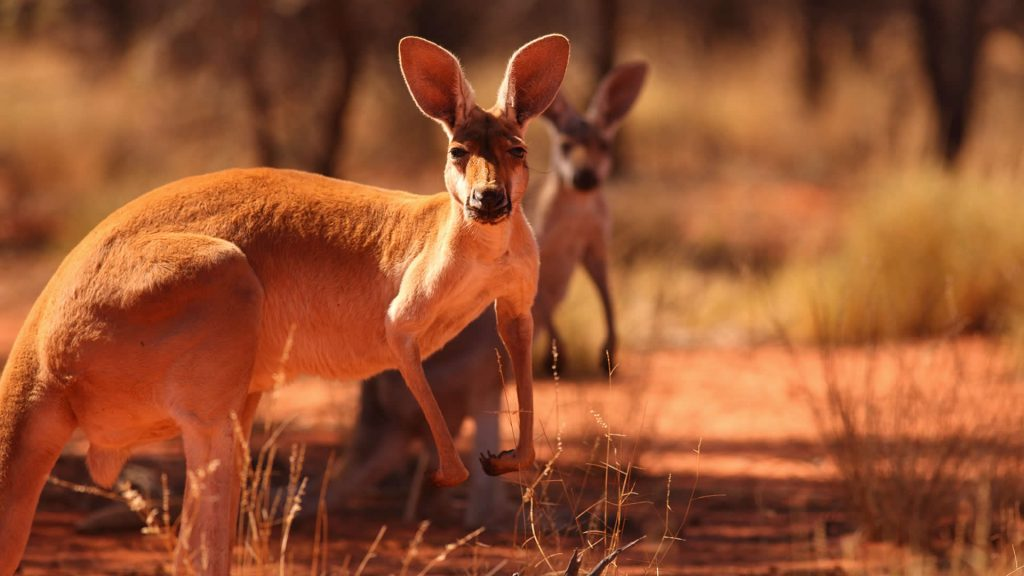 Two kangaroos travel through the Australian Outback