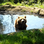 A bear at the sanctuary in Romania enjoys playing in the pool