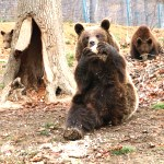 Three bears enjoy their food at the sanctuary in Romania