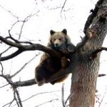 A bear up a tree in Romania at the bear sanctuary