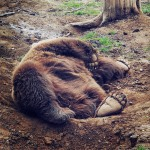 A bear enjoys lounging at the sanctuary in Romania