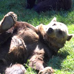 Bear enjoying relaxing at the sanctuary in Romania