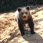 A bear seems to smile at the camera in Romania