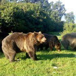 Bears enjoy feeding time at the bear sanctuary in Romania
