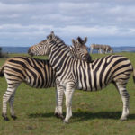Two Zebra groom each other on the backs in the grassy plains