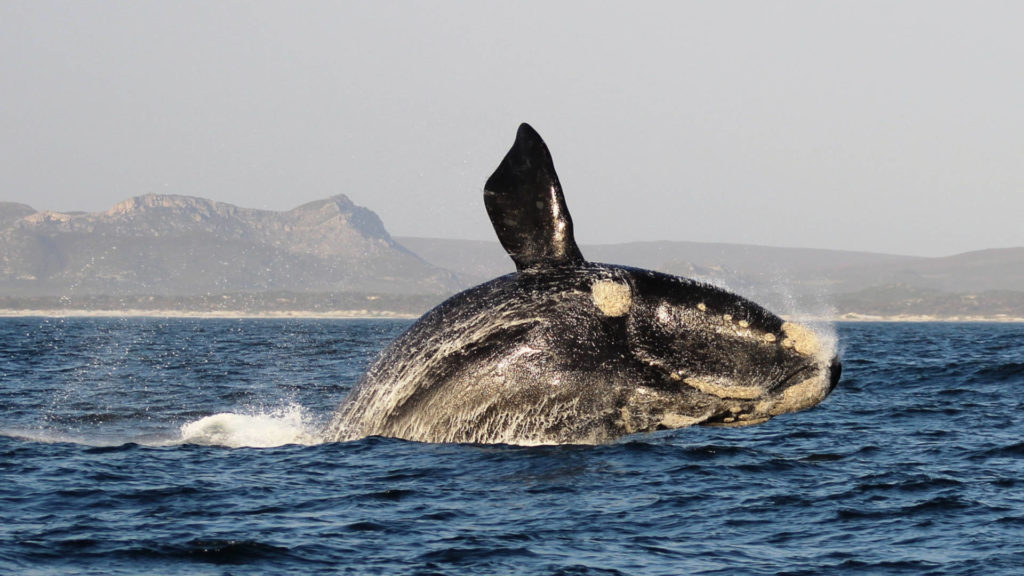 A whale emerging from the water in breach