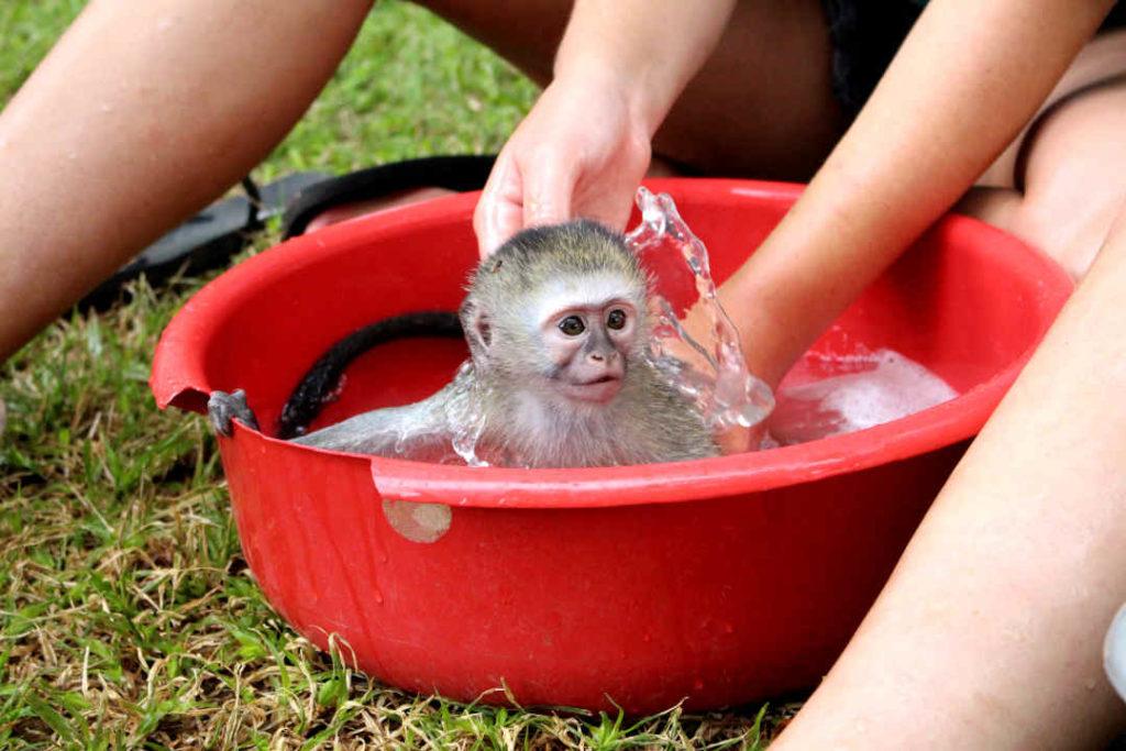 A baby monkey enjoys a bath