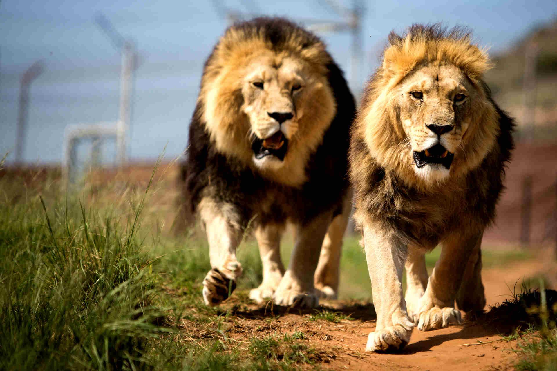 https://www.oysterworldwide.com/panel/wp-content/uploads/2014/04/Prj_South_Africa_prowling_lions-1.jpg