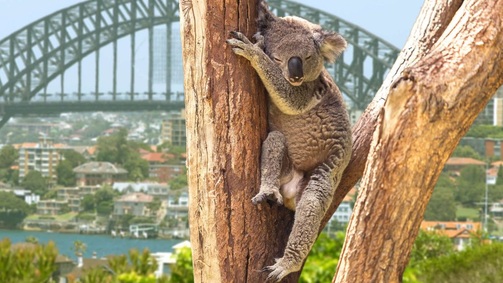 A koala sleeps in a tree near Sydney Harbour Bridge