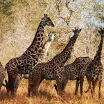 A herd of giraffes in a game reserve