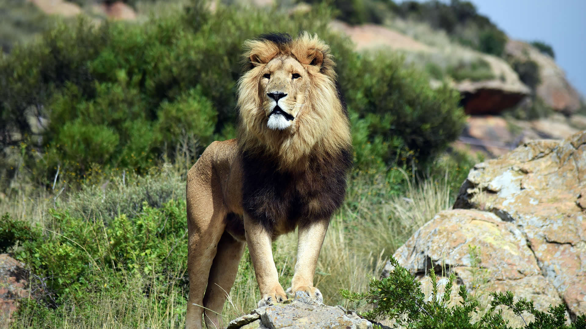 Volunteer Work with Lions in South Africa, LIONSROCK Lion Sanctuary