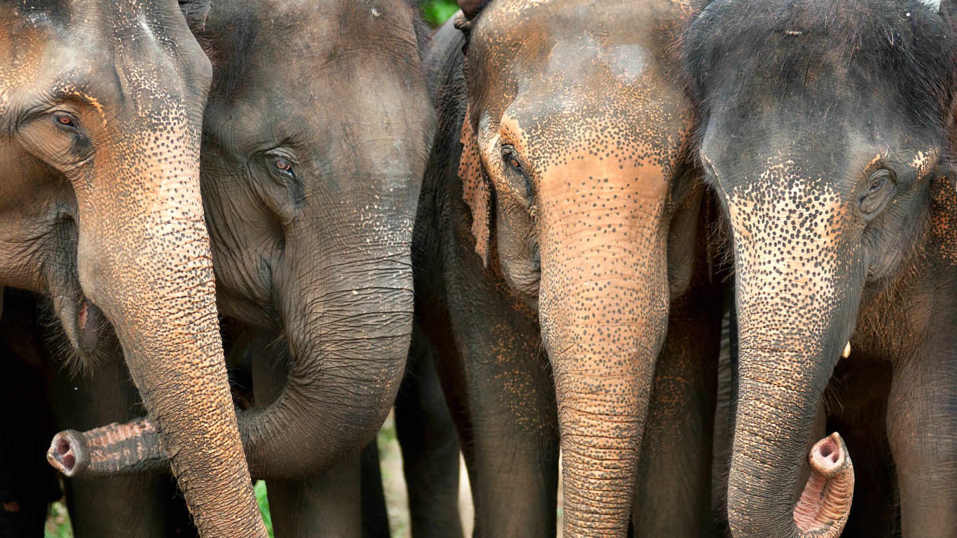 d2c588353e0e Volunteer Work With Elephants in Thailand s Elephant Sanctuary
