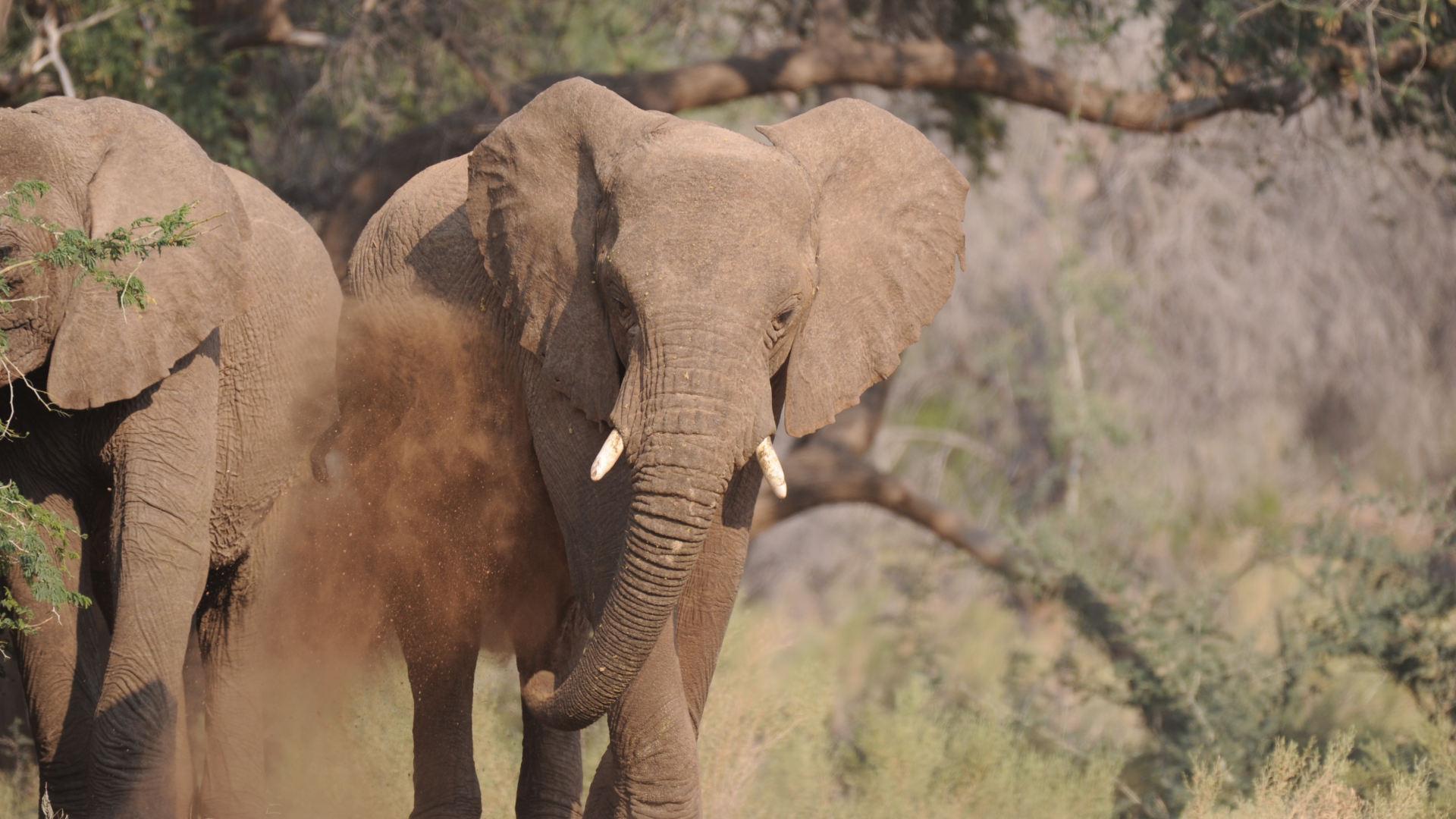 Elephant puttign dust on himself