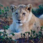 Lioness lies in the bushes
