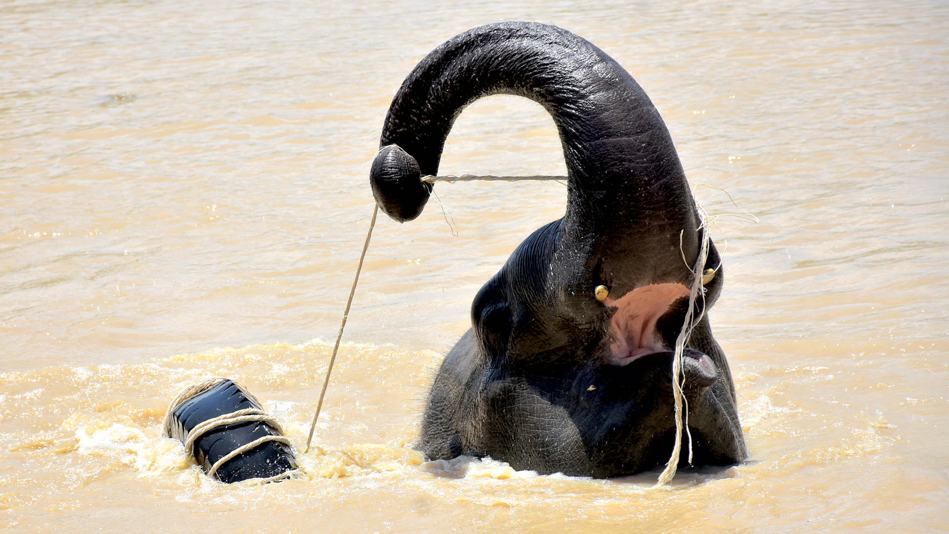 An elephant plays with rope in the river